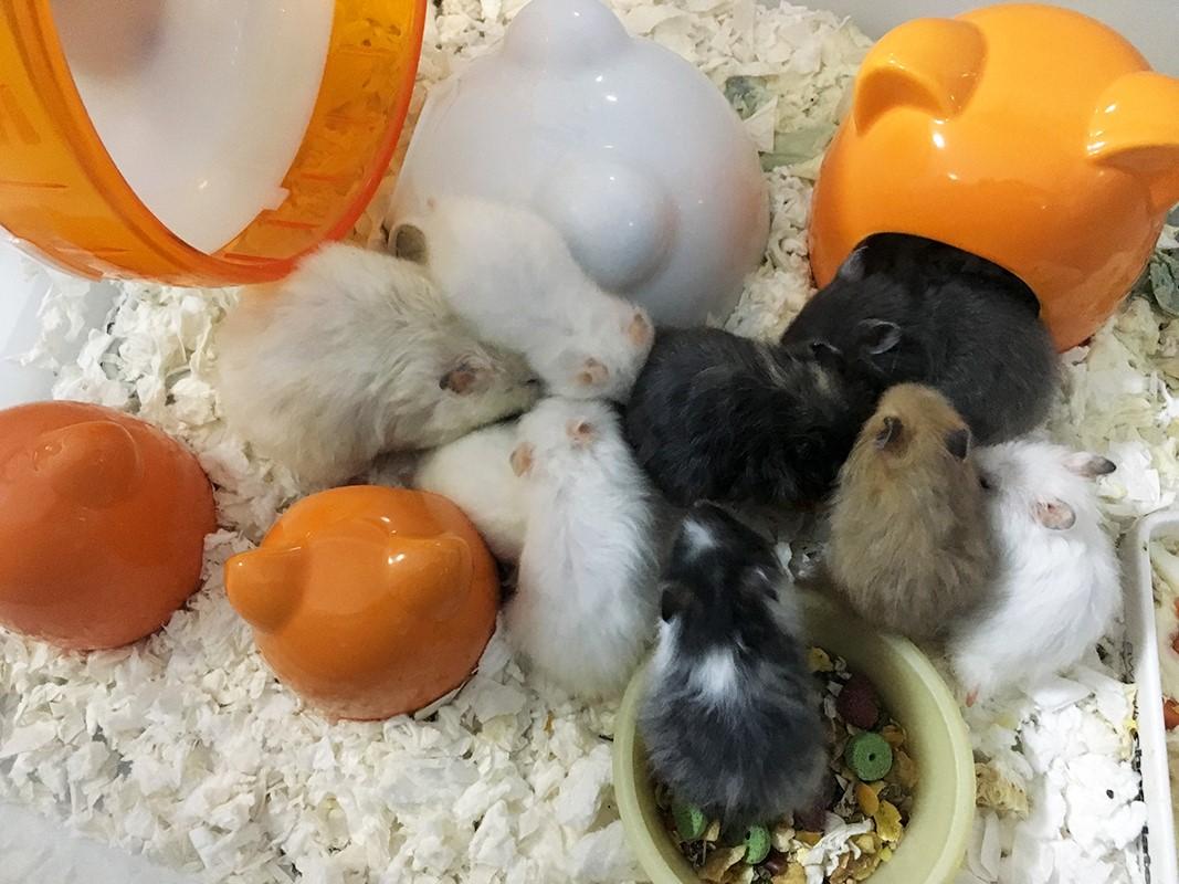 syrian hamster breeding