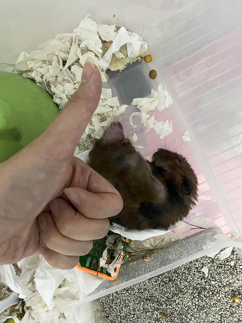 hamster sleeping