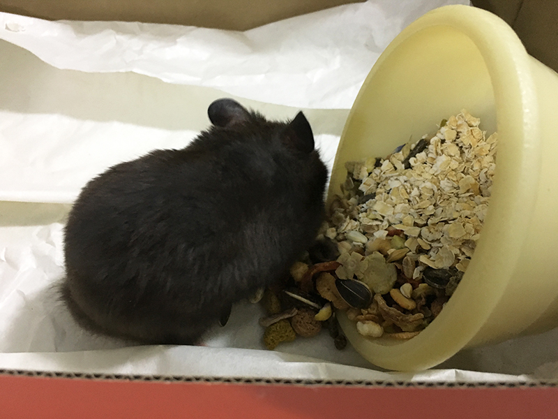 black syrian hamster