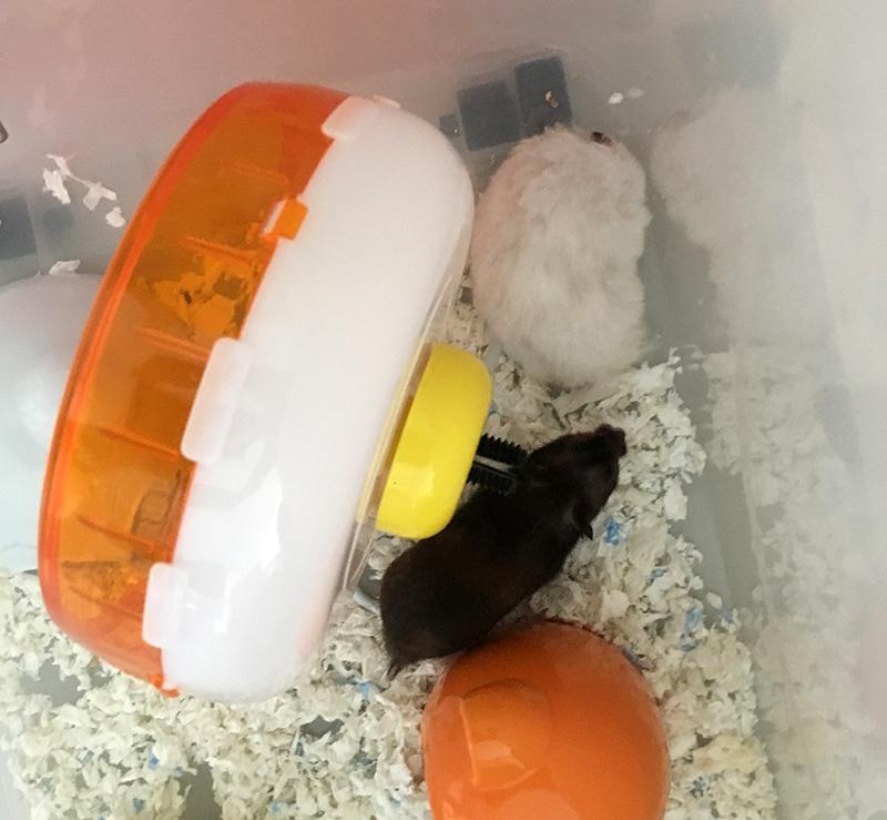 syrian hamsters breeding